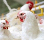 آنفلوآنزای انسانی ارتباطی به پرندگان ندارد